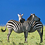 zebras running from predator - photo #4